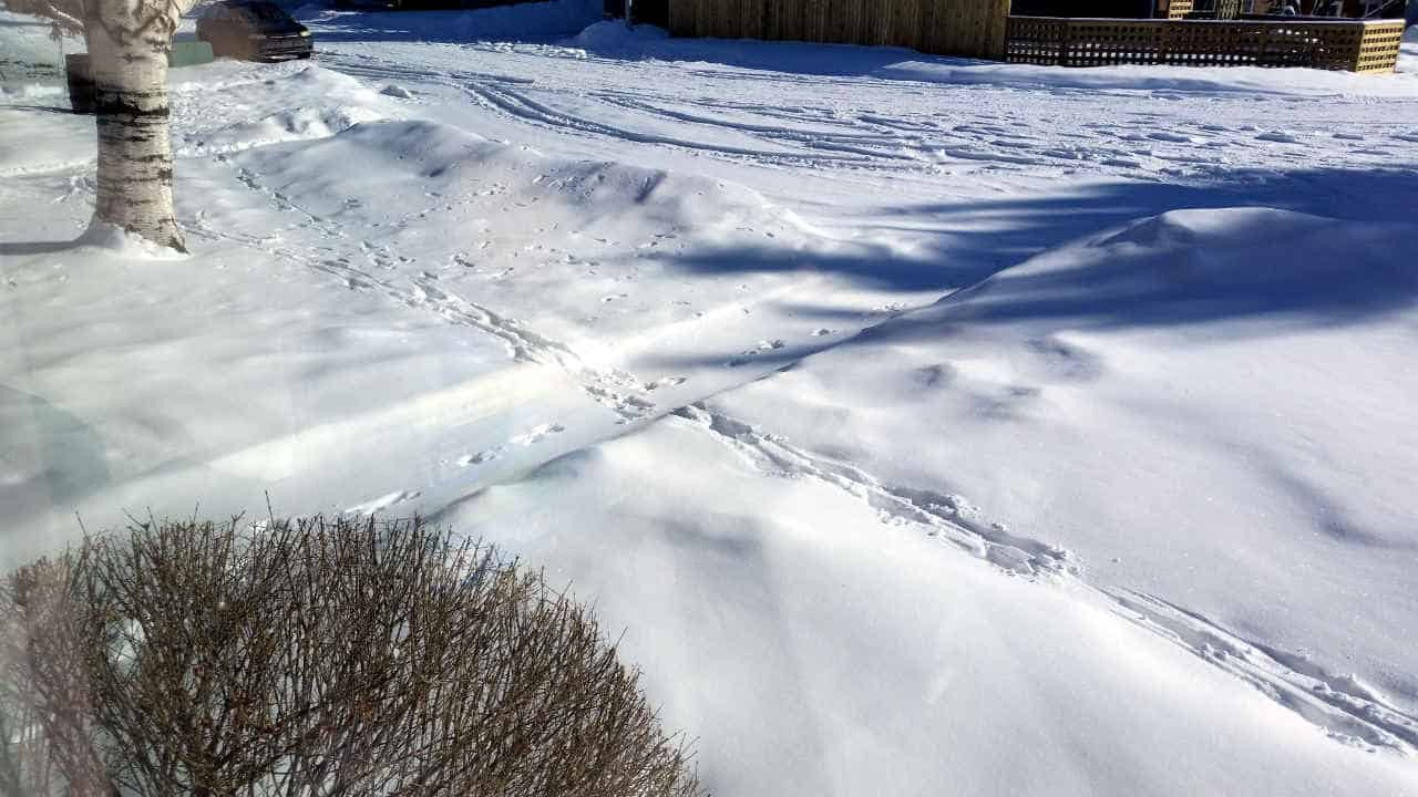Deer, squirrel and tire tracks crossing paths in fresh snow